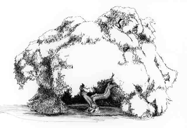 Maple Tree Black And White Drawing Black White
